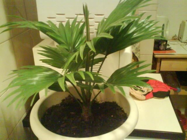 entretien livistona rotundifolia